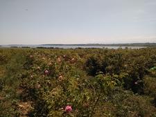 Rose Et Lac