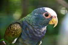White Crowned Parakeet