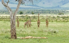 Big Cats Masai Mara