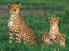 Cheetahs - Garden Route Adventure Tour