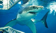 Great White Shark Cage Diving - Garden Route Adventure Tour