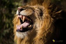 Lion Roar, Features Africa Journeys