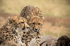Cheetah Gaze, Features Africa Journeys