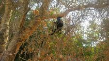 Black And White Colobus Monkey, Selous G.R
