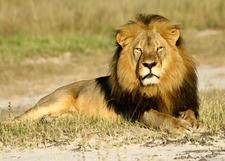 Lion, Garden Route Adventure Tour Safari