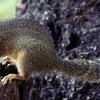 Squirrel Eats A Fruit In Manyara National Park