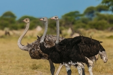 Ostriches On Our Garden Route Adventure Tour