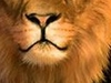 Cropped Lion