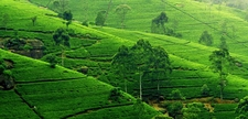 Nuwara Eliya Tea Estates