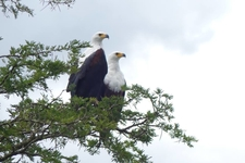 African Fish Eagle 2