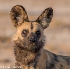 African Wild Dog Khutse