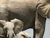 Elephants At Murchison Fals N P