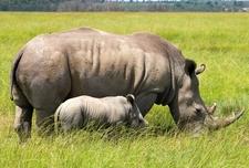 Africa Kenya Masai Mara White Rhino Shutterstock Gallery