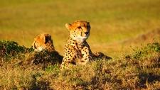 Cheetah Masai Mara Pixa