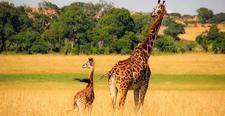 Giraffe Kenya Safari Pixaby