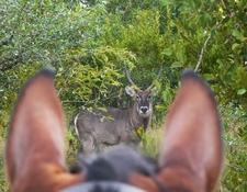 Horse Riding Safari Waterbuck Preview