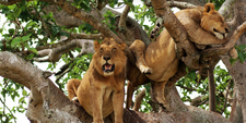Lions 1024x512