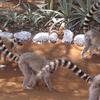 Lemur Catta In Berenty Reserve