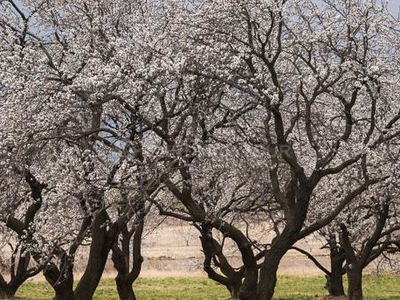 Flowering Apricots