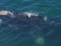 Whale Watching Hermanus 4