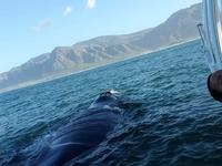Whale Watching Hermanus Boat Trips