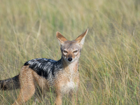 A Jackal Spots Us In Ngorongoro Crater. (Photo By John Russell.)
