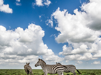 Zebras On The Serengeti. (Photo By John Russell.)