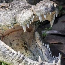 Crocodile Bujumbura Zoo2