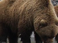 Bear Viewing May 2015 042