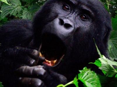 Gorilla 355178 1920