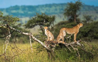 Cheetah Safari 41193237 1554105425 Imagegallerylightboxlarge