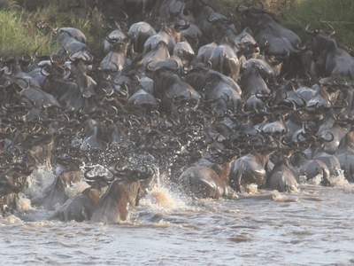 Wildebeest Migration 2322110