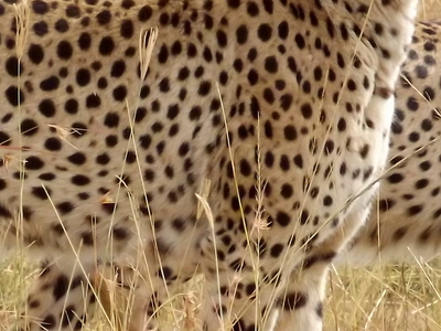 Cheetah Encounter Mara Mr
