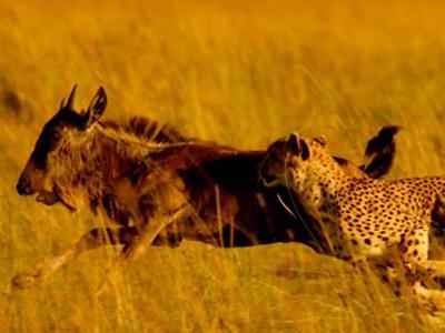 Predators Hunting Down The Wildebeest