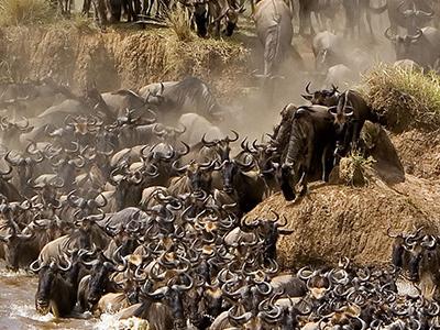 Serengeti Migration Tailor 1
