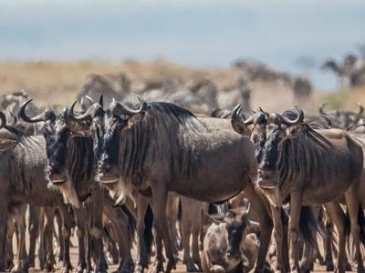 Wildebeest Migration Serengeti 2