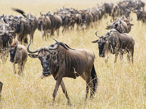 Incredible Migration Trails masai Mara & beach holiday Fotos