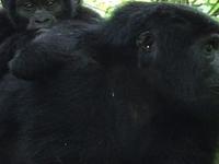 Gorilla Tracking Safari