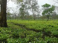 Bangladesh Tour: Tea Garden & Tribal Tour