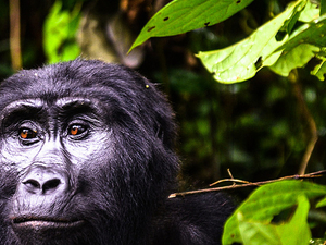 Gorilla Tracking - The Once in Lifetime Experience Photos