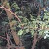 Acacia Horrida