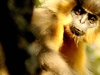 A Capped Langur In Manas