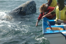 Adult Gray Whale Next To Boat