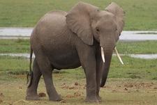 African Elephant - Amboseli National Park - Kenya