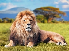 African Lion With Kilimanjaro Backdrop