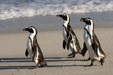African Penguins At Boulders Beach SA