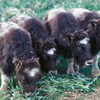 A Group Of Baby Muskoxen At The UAF's Large Animal Research Station