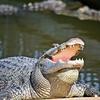 Alligator At The Gatorland