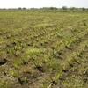 Aloe Farming