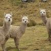 Alpacas - Cordellia Huayhuash - Andes Peru